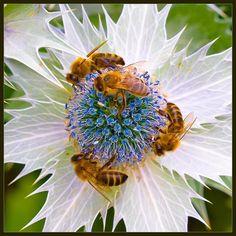 Bees on flower. - Pixdaus