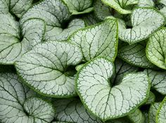 Brunnera macrophylla Silverheart - a fav for shade! Scratching a Niche - NYTimes.com