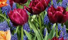 Tulips and Grape Hyacinths Jigsaw Puzzle - click to play - no signups or email required.  #jigsaw #puzzles #tulips