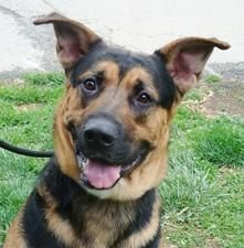 Find loving, well mannered dogs to adopt at your local Humane Society!