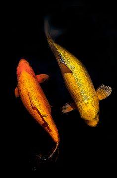 Japanese Koi carps 鯉