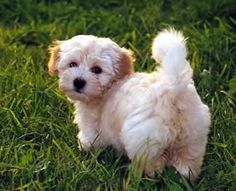 This is a Havanese... I want this dog!