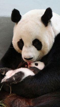 Baby Panda Yuan Zai and Mom