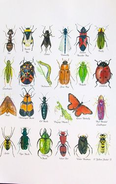 Roberto the Insect Architect ChumleyScobey Art Room: 1st Grade Insect Diagrams