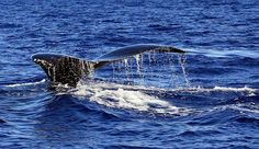 Whale Watching guide for the Big Island | Hawaii
