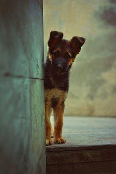 German Shepherd puppy cuteness!
