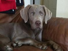 Silver Lab, simply beautiful!