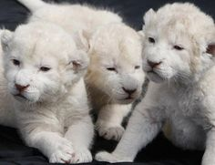 Albinism is a defect of melanin production that results in little or no color (pigment) in the skin, hair, and eyes. - cats, lion, albinos animals, albino animals, colors, tiger cubs, white cub, hair, eyes