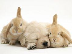 golden retriever + bunnies