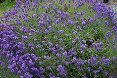 Tucker's Early Purple English lavender herb