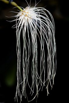Bulbophylum medusa - Flickr - Photo Sharing!