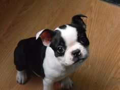 In my opinoin Boston Terrier puppies are the cutest out of all of the dogs when they are puppies(: <3 I have had 2 in my life time..Dozer and Snickers...and Dozer is gone now but Snickers is like 5 now and they were both really cute when they were babies(: