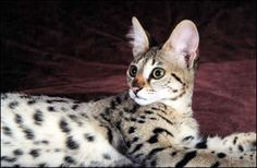 Savannah Cat!