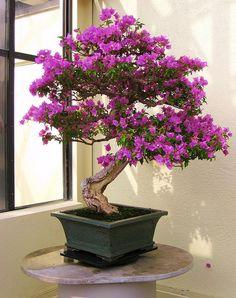 Scarlet Begonias in Bonsai by the monk, via Flickr