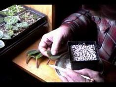 African Violet Videos - From Soil To Propagation