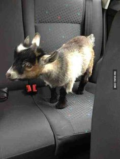 Everyone needs a goat...
