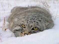 Russian Wild Cat!