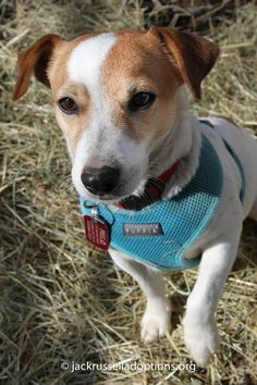 Adoptable Jack Russell Terrier, Milo, Atlanta, Georgia | Georgia Jack Russell Rescue, Adoption and Sanctuary