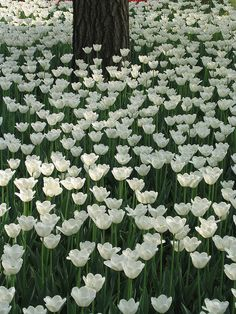 white gardens, forests, white flowers, trees, beauty, tulips, fields, china, white tulip