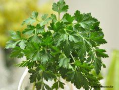 Horta - como plantar Salsinha #alcanceosucesso