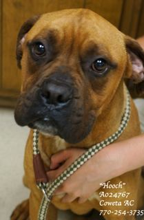 "EXTREMELY URGENT! LAST CHANCE! THIS PET WILL BE EUTHANIZED WEDNESDAY 6-12-13!    PLEASE CONTACT COWETA COUNTY ANIMAL CONTROL.: 770-254-3735.  ""Hooch"" is just a LOVE!  He has wonderful qualities of the boxer breed!  He is playful, exuberant, inquisitive and outgoing.  The clock is ticking and the DEADline is near.  This sweet soul desperately needs a safe and loving home or a receiving rescue ASAP!  This pet has been at the shelter since 05/08/13!!"