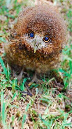 Fluffy owlet • photo: Lunamarie on devianart