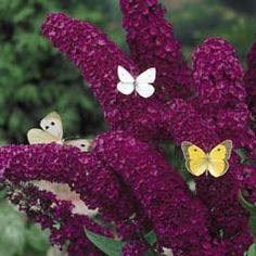 Royal Red Butterfly Bush.  I'm going to plant a couple of colorful butterfly bushes this year, mixed in with my small orange sunflowers.  I hope to attract lots of butterflys, bees and hummingbirds.