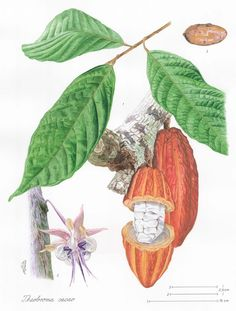 Theobroma cacao also cacao tree and cocoa tree, is a small (4–8 m or 15–26 ft tall) evergreen tree in the family Sterculiaceae (alternatively Malvaceae), native to the deep tropical region of the Americas.
