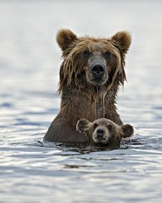 swim lessons, mother, big bear, bear cubs, baby bears