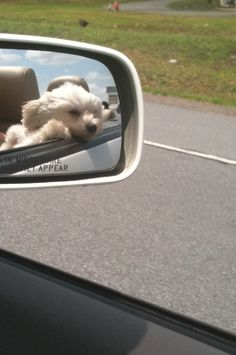 maltese with the wind in his face