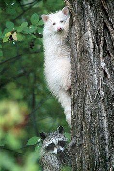 An albino raccoon climbs up a tree with a sibling near the Animas River north of Durango, Colo.