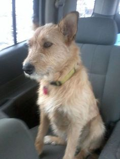 Wire Mounth heeler dog photo | MO:'Still Missing since 9/28/13. She is a Wire Mouth Heeler stock dog ...