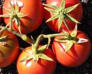 Porter Tomatoes <--My grandfather always grew these. I have two plants this year.