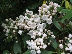 Mountain Laurel. Evergreen. (Partial sun. Amend acid, well drained soil with organic matter.)