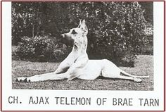 "CH Ajax Telemon of Brae Tarn (CH The Duke of Roxdane x CH Heide of Brae Tarn) Sire of CH Dinro Aslan and Ch Dinro Aelric.  Ajax was 6 years old before he started his stud and show career, and then produced 15 champions. Ajax's owners brought him to ""Pop"" Gilbert for boarding and of course ""Pop"" immediately recognized the qualities of the dog.        Ajax was still actively breeding at 10 years of age."