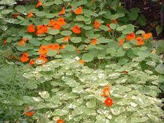 salad, plant, flower garden, color, cake flowers, nasturtium, edibl flower, vegetables garden, garden idea