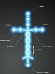 "This is Laminin. For those of you who are unfamiliar with this molecule, Laminin is the protein that holds human beings together. Do you notice its shape? Isn't it amazing that God would think so far in the future, and make the very thing that makes us think of Jesus, make up and play a crucial role in how we are formed? God formed you to not only live as an image of Christ, but to never escape the fact that you are HIS! We are branded by the Cross! ""He is before all things, and in him all thin"