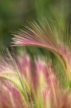 """Squirrel Tail Grass, Alaska"""