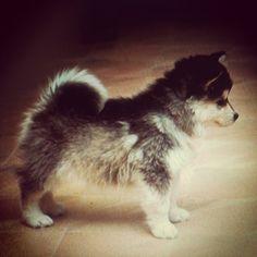 mini husky | mini #