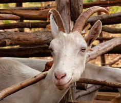 Goats ... an anti-viral agent in Rwanda with Heifer International