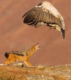 eagl, animals, photograph, fox, wild dogs, big bird, natur, coyot, birds