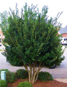 (NP) Ligustrum Recurve is a fast growing, dense, upright evergreen shrub or small tree with large shiny dark green leaves. Strongly fragrant creamy flowers are produced in abundance during May. 10'x8'