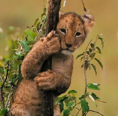 Baby Lion Cub - Sooo Cute !