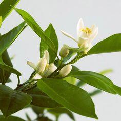 Fragrant houseplant: Citrus