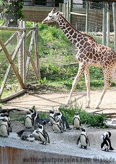 penguins ..just hanging out with their tall BFF