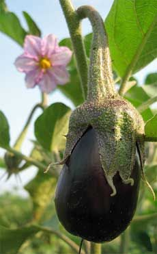 how to grow eggplant.