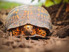 A visit from an Eastern box turtle | Flickr - Photo Sharing!