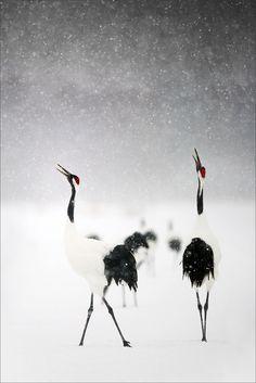 Snow Cranes, Hokkaido, Japan
