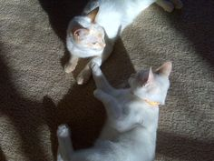 Snowflake and Flame - Red Point Colorpoint Shorthairs (Flamepoint Siamese)