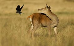 Red deer (Cervus elaphus) hind chasing Jackdaw (Corvus monedula) off her back, Richmond Park, London. Photographer Danny Green comments: Everything in nature is connected. Jackdaws know that the red deer hind provides very useful nesting material. Did you know? Red deer are our largest land mammal and help shape our woodlands.  Picture: Danny Green/2020VISION / Rex Features